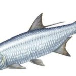 Ryby morskie jadalne
