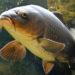 Ryby słodkowodne jadalne